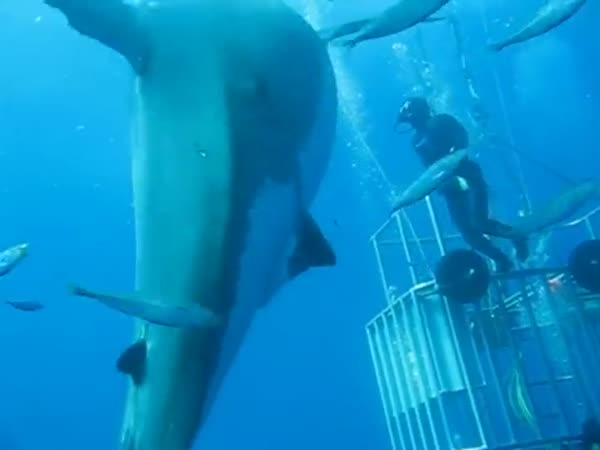 Giant White Shark