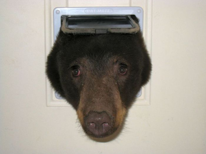 Black Bear Tries To Sneak In Through The Cat Door (4 pics)
