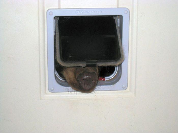 Black Bear Tries To Sneak In Through The Cat Door (4 pics)