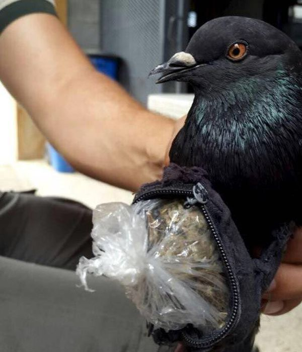 Authorities Caught A Drug Smuggling Bird At A Prison In San Jose (3 pics)