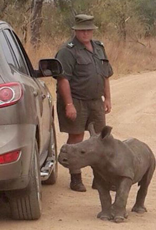 Baby Rhino Tries To Befriend A Jeep After His Mother Is Killed By Poachers (3 pics)