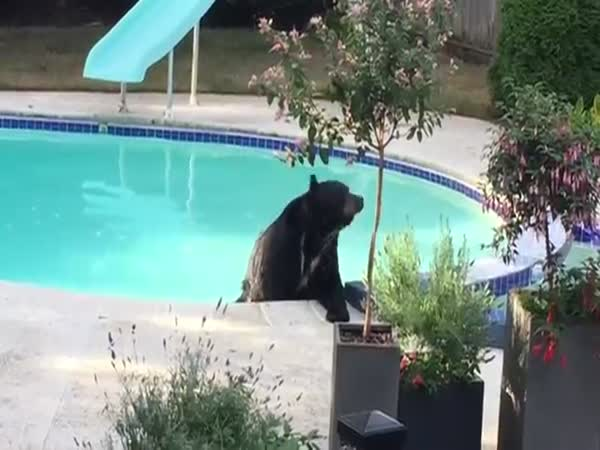 Bear In The Pool