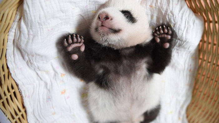 Panda Babies Make Their First Appearance At Panda Breeding Center (16 pics)