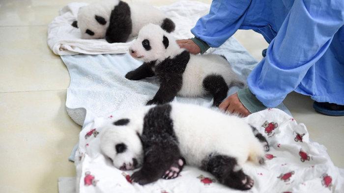 Panda Babies Make Their First Appearance At Panda Breeding Center (16 pics)