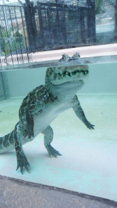 What Alligators Look Like When They Walk Underwater (3 pics)