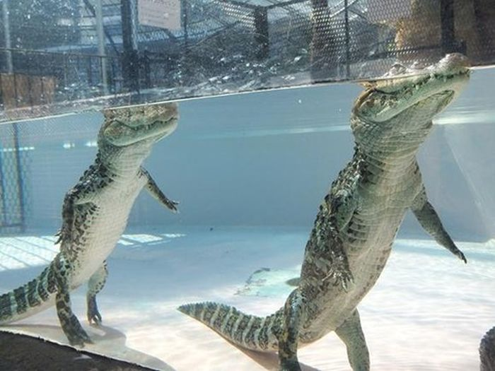 What Alligators Look Like When They Walk Underwater (3 pics)