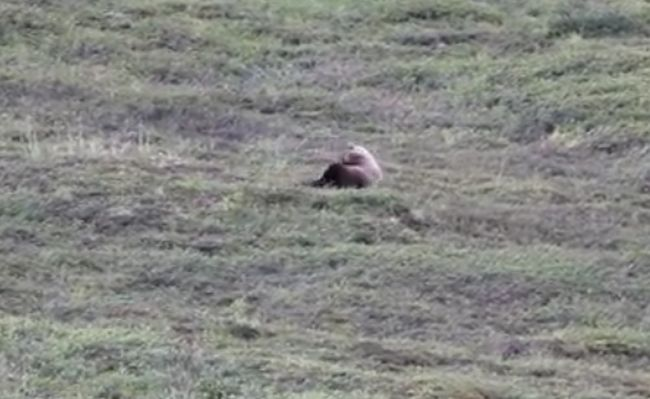 Grizzly Bear rolling down a hill at Denali National Park