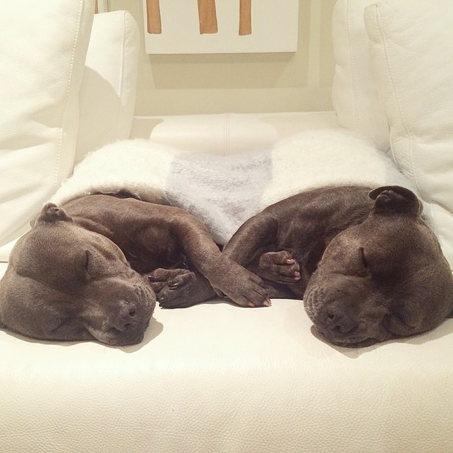 Cute Staffordshire Bull Terrier Brothers (16 pics)