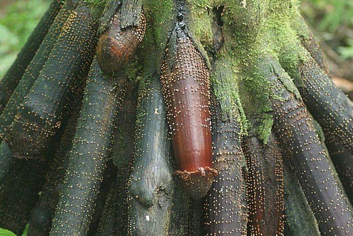 Iriartea Gigantea (6 pics)
