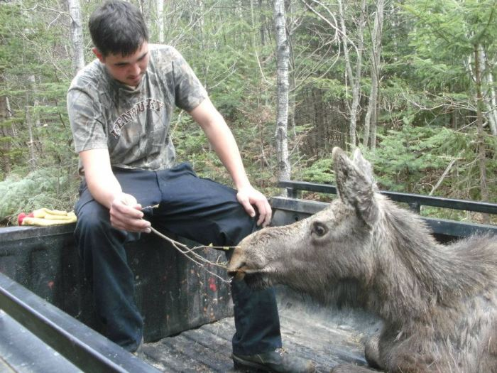 Moose Yearling Rescued (7 pics)
