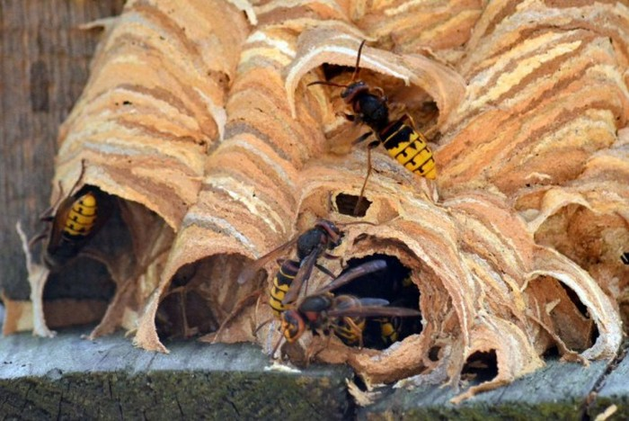 Hornet's Nest (5 pics)