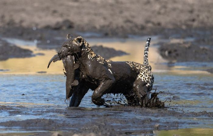 Leopard Fishing in Dirt (9 pics)