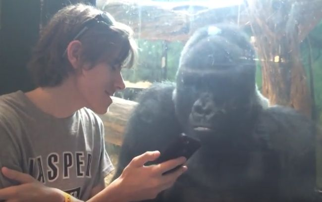 He Showed A Gorilla Photos Of Other Gorillas On His Phone