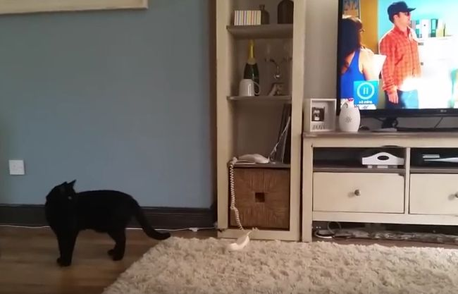 Cat answers phone