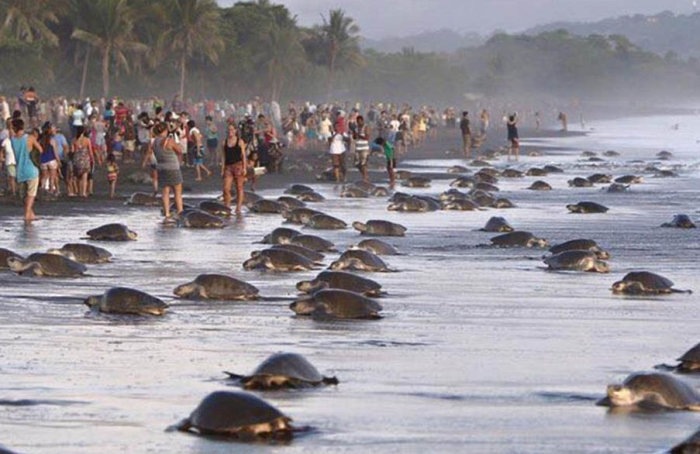 Irresponsible Tourists Prevent Sea Turtles From Laying Their Eggs In Costa Rica (11 pics)
