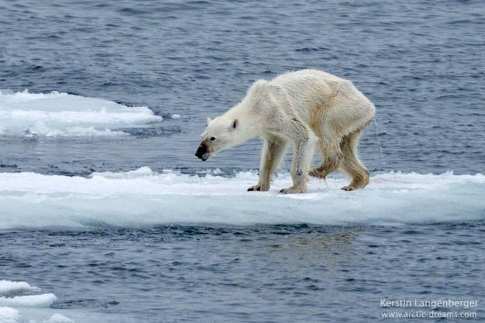 Photo Of Starving Polar Bear Brings The Future Of The Arctic Into Question (2 pics)