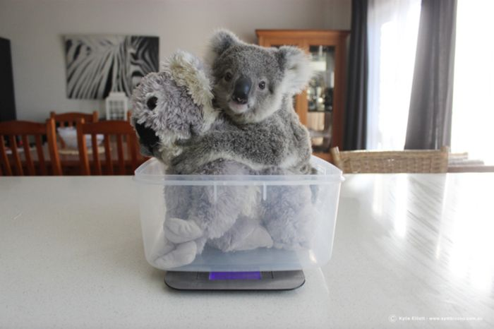 This Baby Koala Has Some Pretty Awesome Keepers (7 pics)