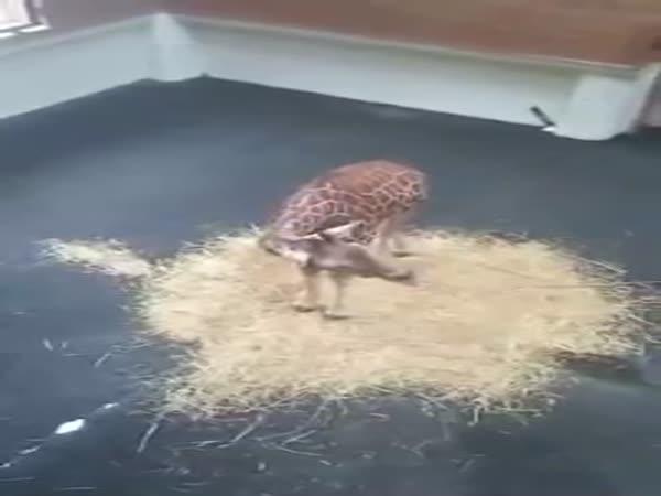 Giraffe Cry