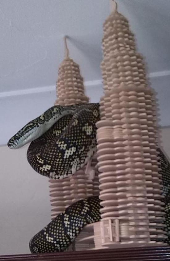 Large Snake Sneaks Into Suburban Home In Australia (2 pics)