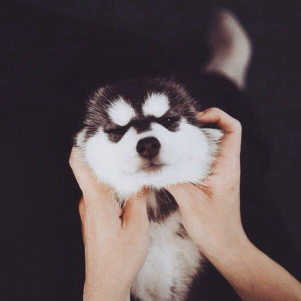 He May Be Small But This Little Husky Is Adorable (6 pics)
