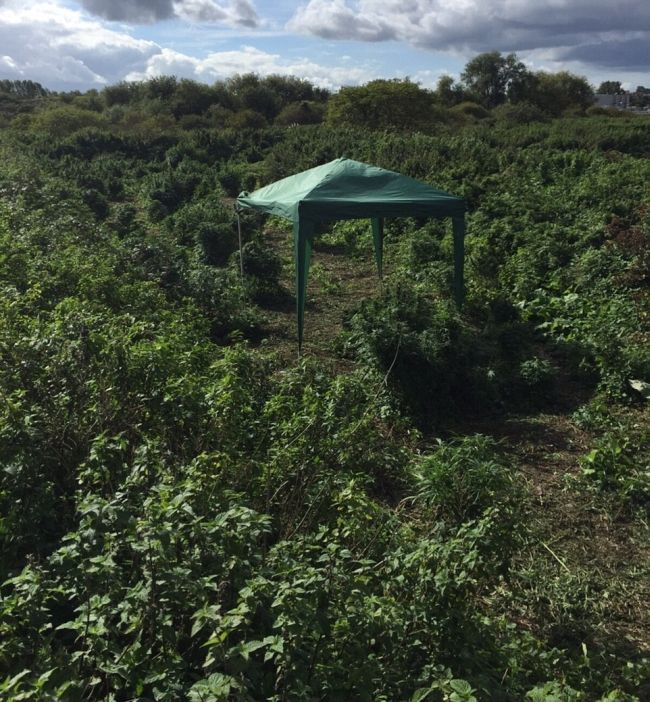 Police Find A Forest Of Cannabis Plants Growing In London (5 pics)