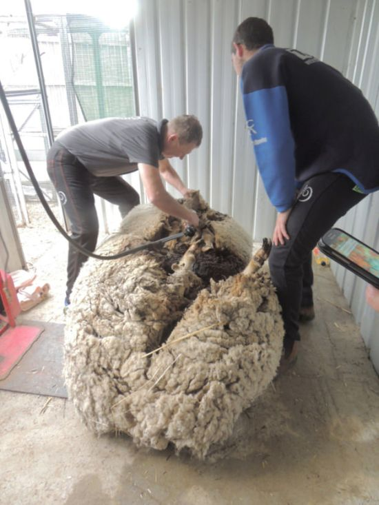 Say Hello To Chris, The World's Wooliest Sheep (8 pics)