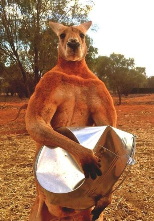 Angry Kangaroos Duke It Out In A Boxing Match (3 gifs)
