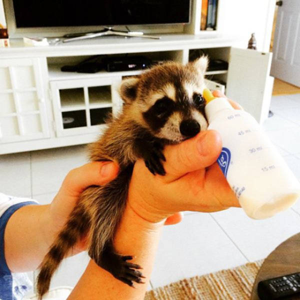 Meet The Baby Raccoon That Was Raised By Dogs (20 pics)