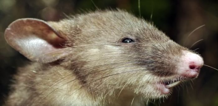 New Species Of Rat Discovered In Indonesia (4 pics)