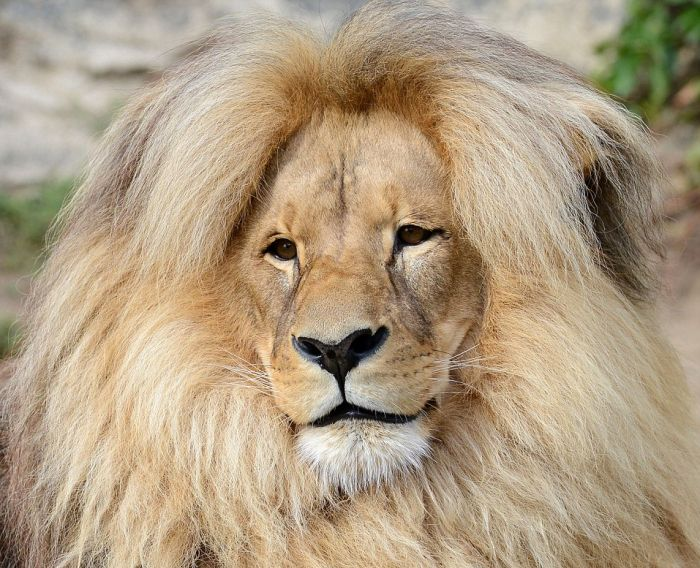 Leon The Lion Likes To Flaunt His Mane For All The World To See (9 pics)