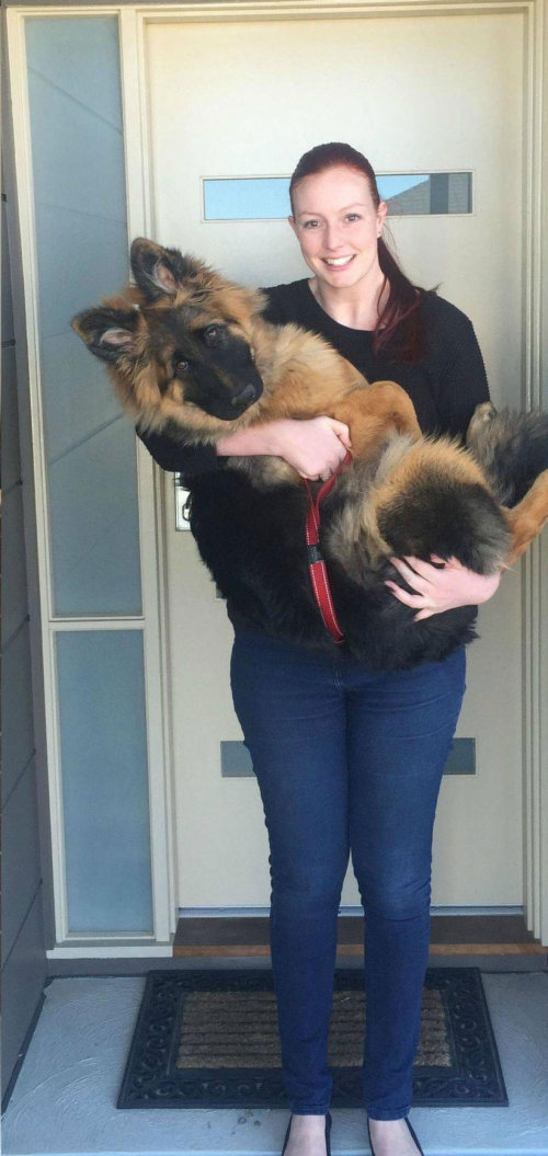 It Took Only 8 Months For This German Shepherd To Become Huge (6 pics)