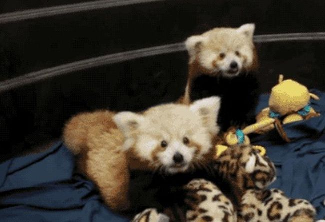Red Pandas Like To Play (5 gifs)