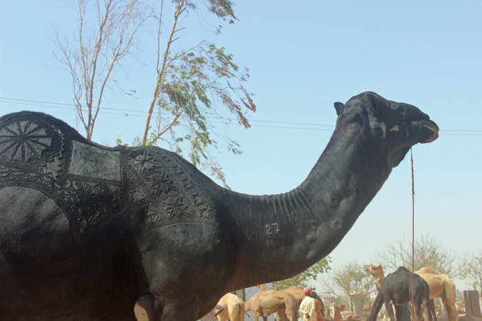 Camels Are Getting Cool Haircuts Courtesy Of Barbers In Pakistan (7 pics)