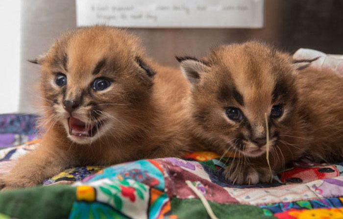 The Oregon Zoo Shows Off Baby Caracal (9 pics)