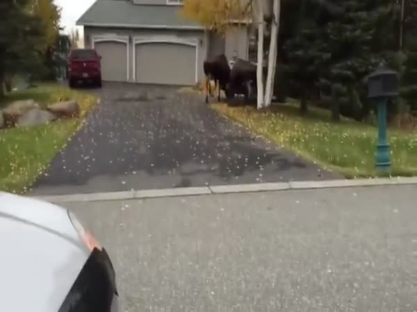 Moose Fight