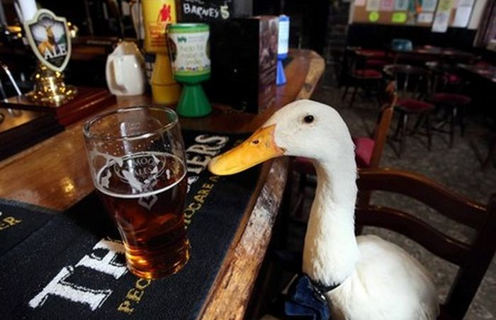Britain's Beer Drinking Duck Injured In Fight With Dog (7 pics)