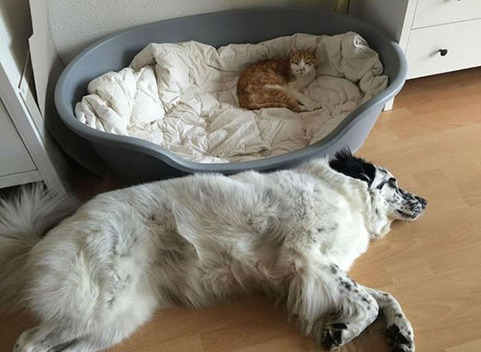 How Dogs React When Cats Steal Their Beds (17 pics)
