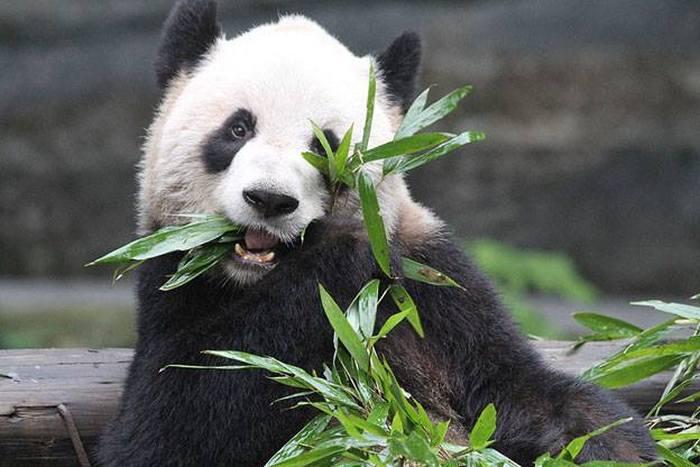 Panda Gives Birth To Twins In Toronto (4 pics)