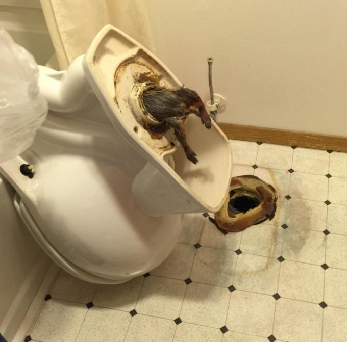 Rats Climbing Into The Toilet Is A Nightmare Come True (1 pic)