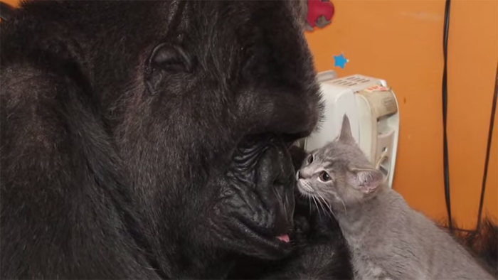 Koko Is A Gorilla That Adopted Two Baby Kittens (7 pics)
