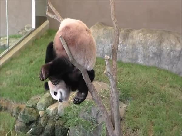 Clumsy Panda