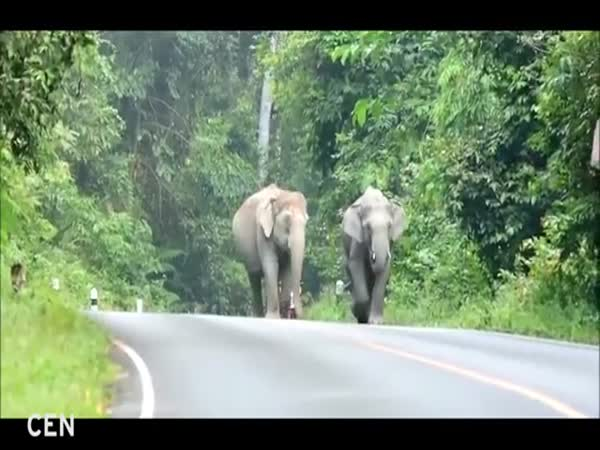 Elephants And Biker