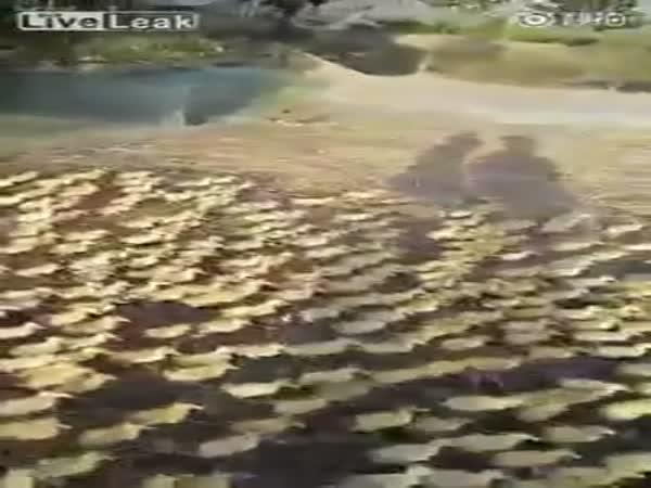 Ducklings Swim