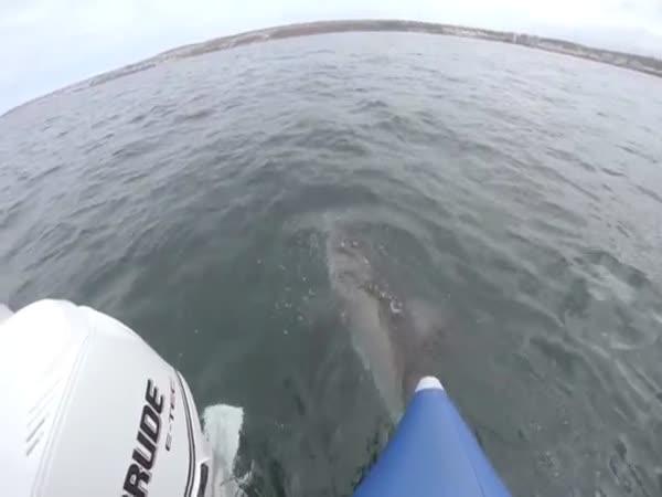 Shark Vs Boat