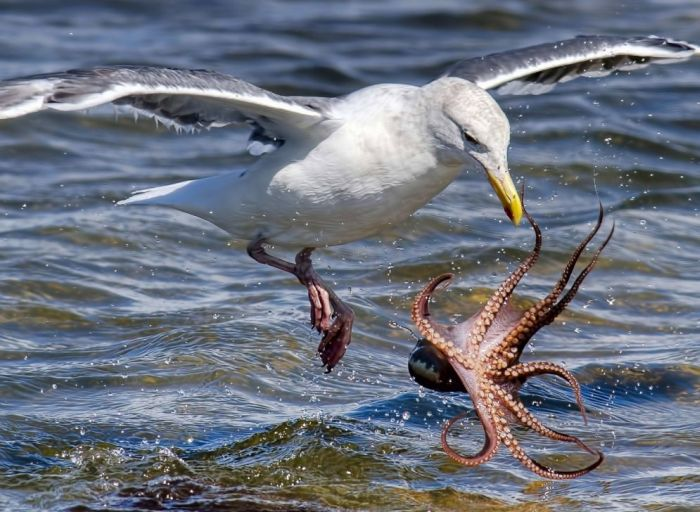 Rare Photos Of A Seagull Hunting An Octopus (6 pics)
