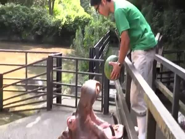Hippos Eat Watermelon