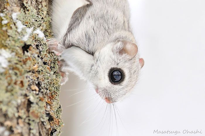Japanese And Siberian Flying Squirrels Are Totally Adorable (12 pics)
