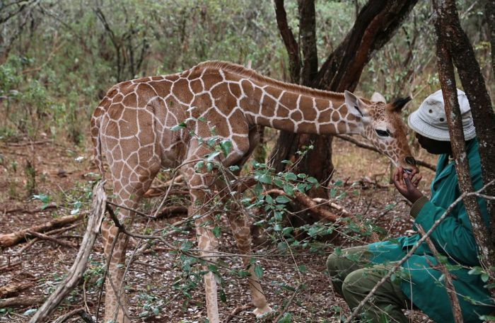 Rescued Giraffe Becomes Best Friends With An Orphaned Elephant Calf (12 pics)