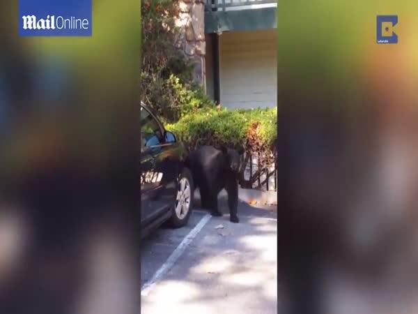 Bear Gets Into The Car