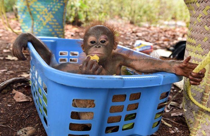 Baby Orangutans Are Too Cute To Handle (11 pics)
